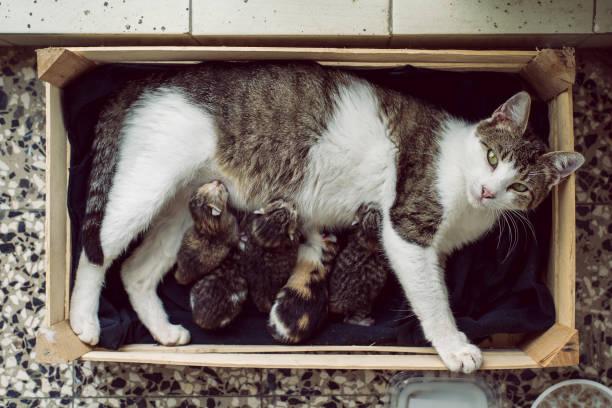 Cat feeding little kittens stock photo
