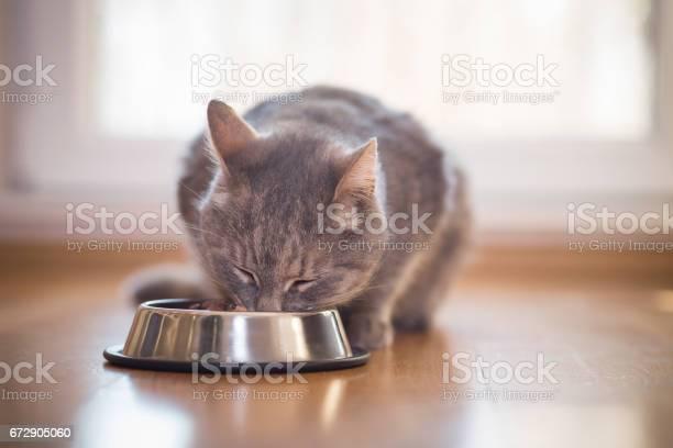 Cat feeding picture id672905060?b=1&k=6&m=672905060&s=612x612&h=ogy7mcqnd2xd62erq4myesp7hjevlvjtwycfkq1q8ry=