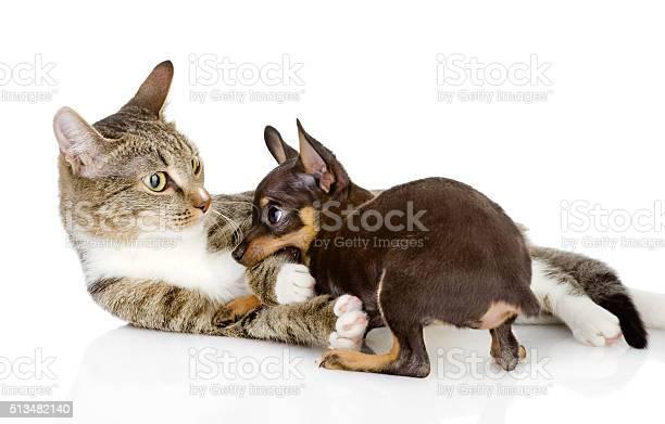Cat fights with a dog isolated on white background picture id513482140?b=1&k=6&m=513482140&s=612x612&h=phgfaltcgmq4omiyjkmg3rhd1oihmdvcw0tki7f0kai=