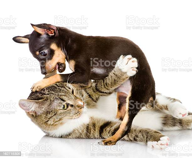 Cat fights with a dog picture id162715305?b=1&k=6&m=162715305&s=612x612&h=irekxynudzqsxhyvj1 apwve9wzhyga5kcavhw4shqe=