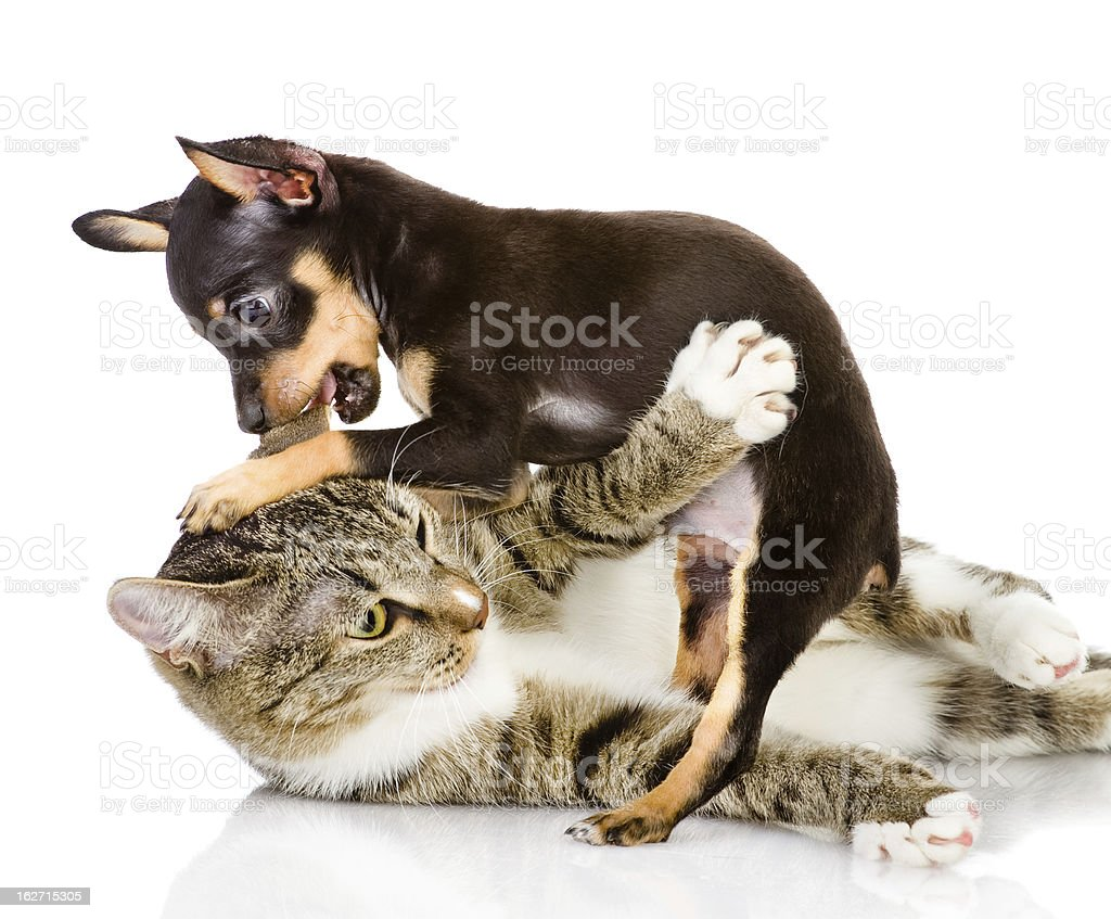 cat fights with a dog stock photo