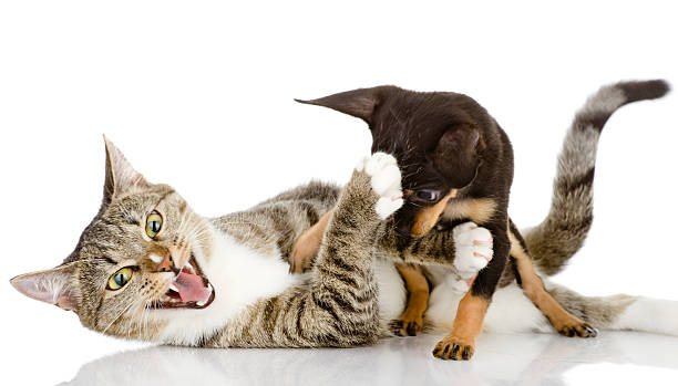 Cat fights with a dog picture id163171332?b=1&k=6&m=163171332&s=612x612&w=0&h=b83yzjoqortvh wnfk4q zhuxpjlrihopmdsnlpq uc=
