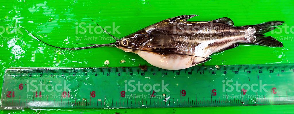 cat fishes with measuring tools isolated on white background royalty-free stock photo