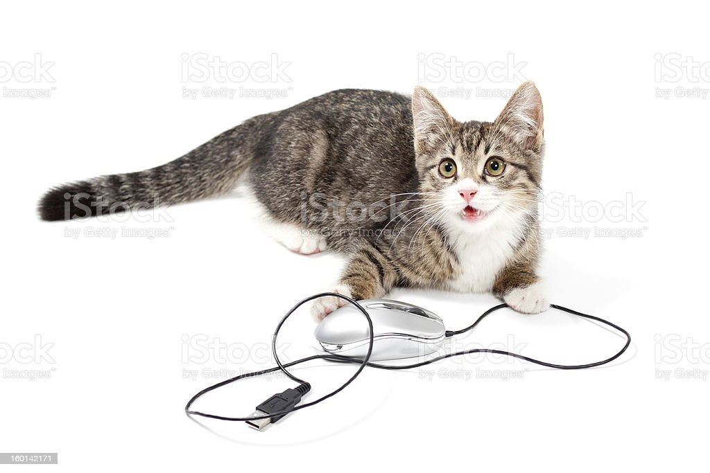 cat focus at computer mouse stock photo