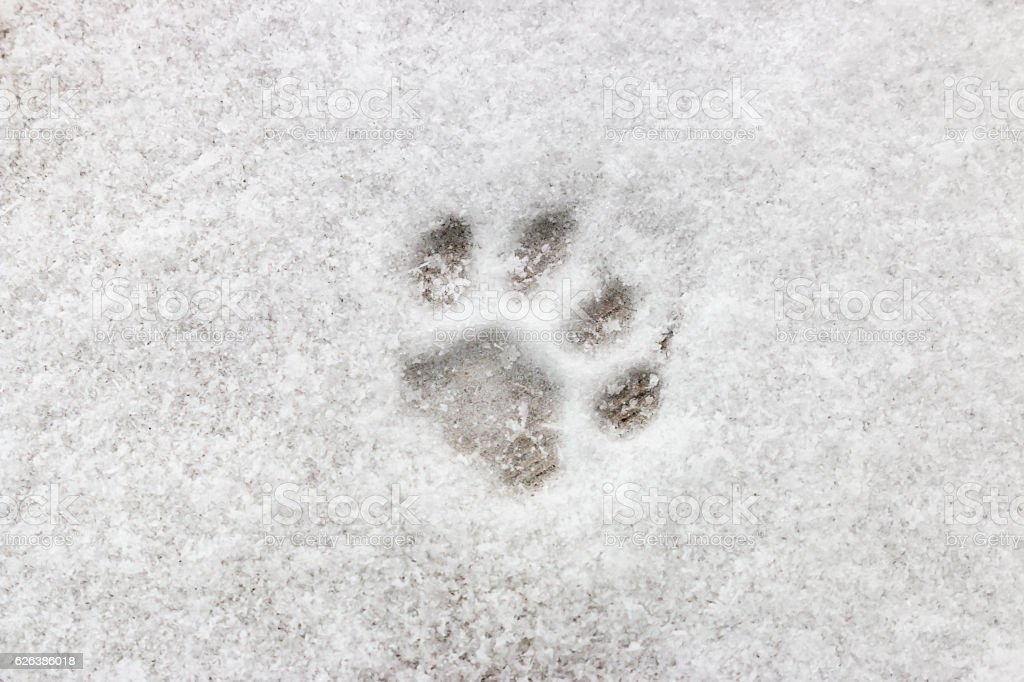 cat footprint on snow close-up – Foto