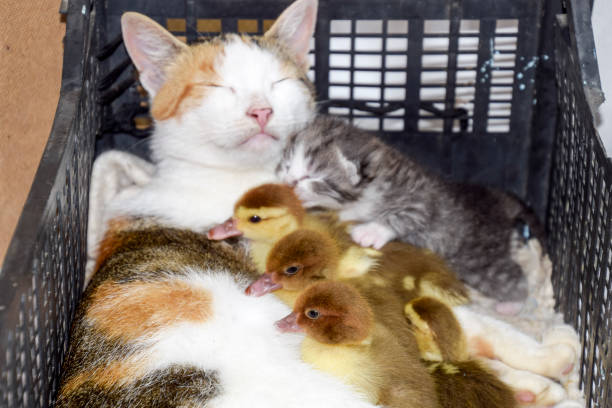 Cat foster mother for the ducklings - foto stock