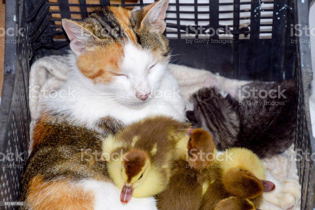 Katze Pflegemutter für die Entenküken - Lizenzfrei Adoption Stock-Foto