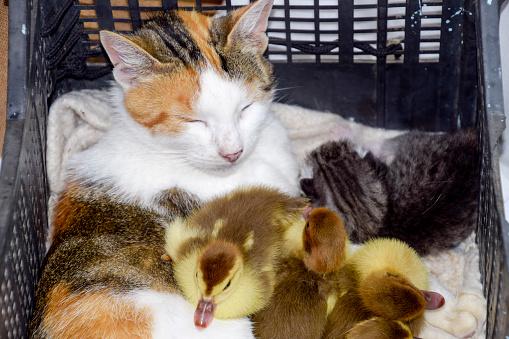 Katze Pflegemutter Für Die Entenküken Stockfoto und mehr Bilder von Adoption