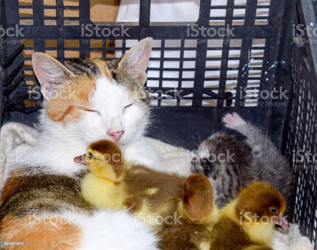 Katze Pflegemutter für die Entenküken - Lizenzfrei Arbeiten Stock-Foto