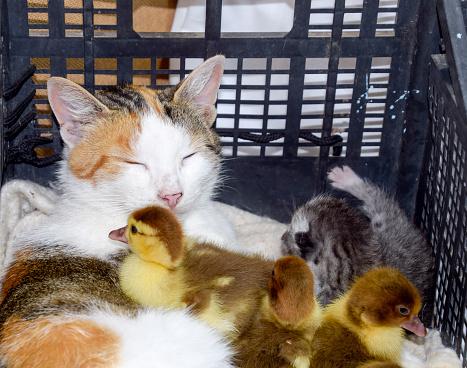 Katze Pflegemutter Für Die Entenküken Stockfoto und mehr Bilder von Arbeiten