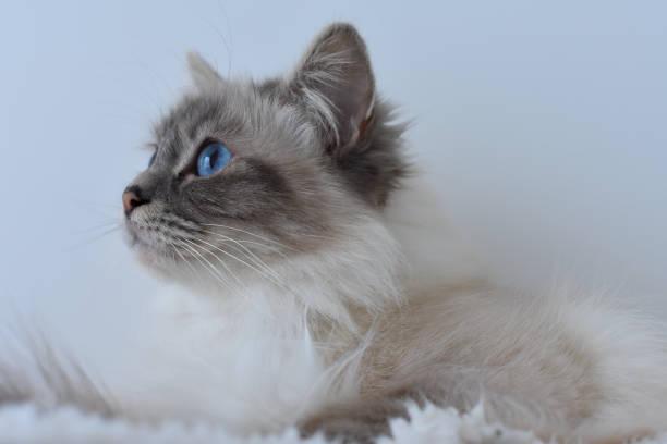 cat from burma - burma home do zdjęcia i obrazy z banku zdjęć
