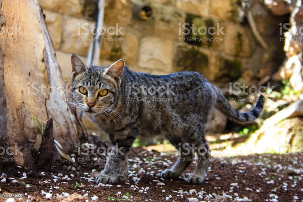 cat from Israel - Royalty-free Animal Stock Photo