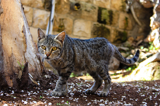 Cat From Israel Stock Photo - Download Image Now
