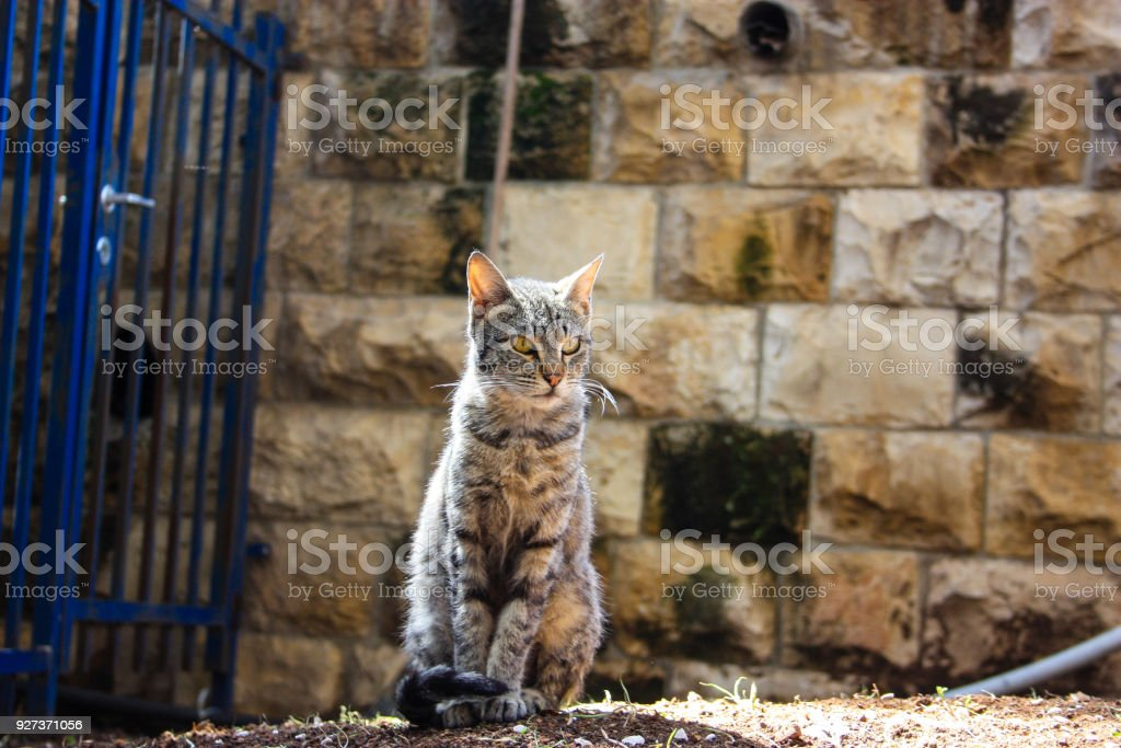 cat from Israel closeup of a street cat in Jerusalem Animal Stock Photo