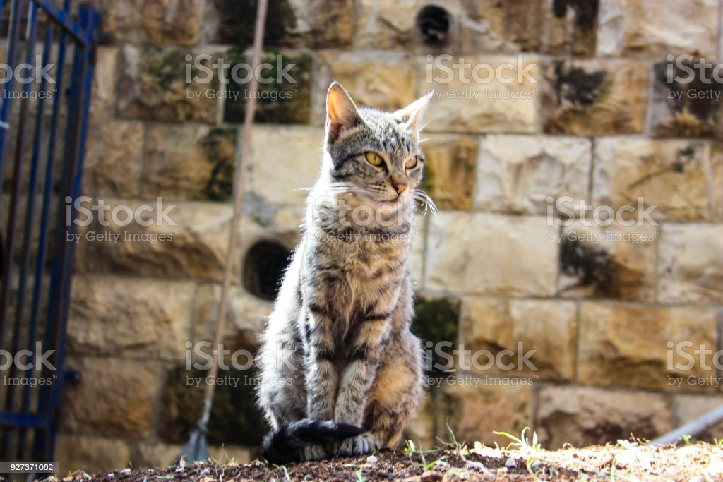 cat from Israel - Royalty-free Adult Stock Photo