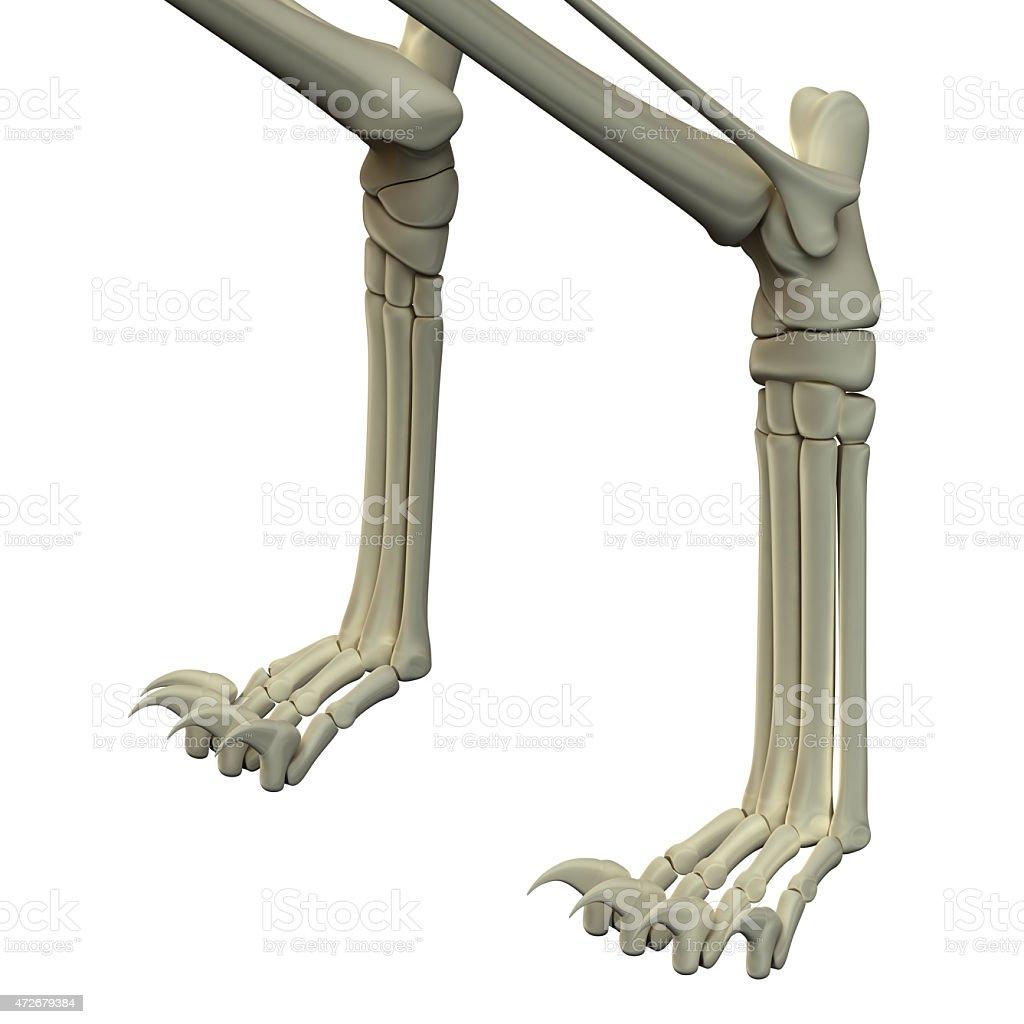Cat Front Legs Anatomy Bones Stock Photo & More Pictures of 2015 ...