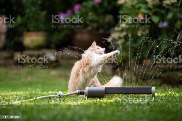 Cat garden lawn sprinkler picture id1171983507?b=1&k=6&m=1171983507&s=612x612&h=bcftj issxgg9xjtwwmae fkuio2irzhq2wniymlqva=