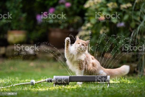 Cat garden lawn sprinkler picture id1171983614?b=1&k=6&m=1171983614&s=612x612&h=zqqpl8mp9reno7f t2cnhhk4hn8vtc7a vwuqyc79fi=