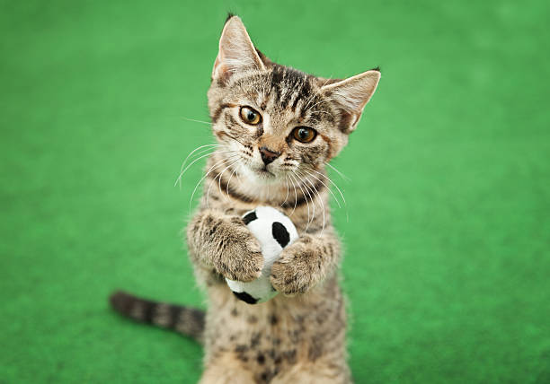 Cat goal keeper picture id491918810?b=1&k=6&m=491918810&s=612x612&w=0&h=hqj6o6qnpor8ies ofzc45oj5hufsjqlgyvb1ci7c9o=
