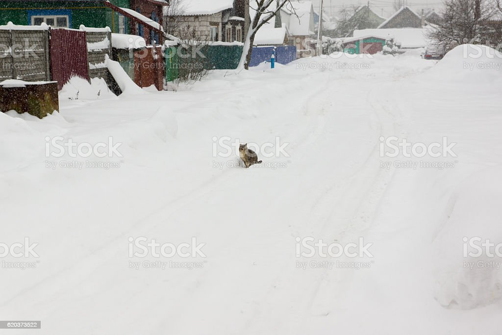 Cat goes on snow covered street zbiór zdjęć royalty-free