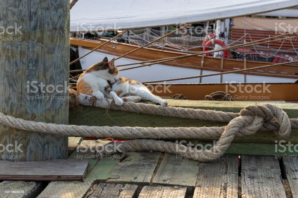 A cat grooming itself on a pier with sailboats in the background. stock photo