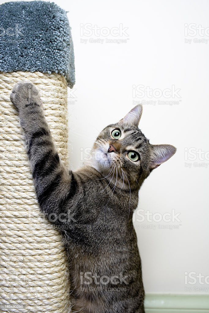 Cat hanging on Scratching Post royalty-free stock photo