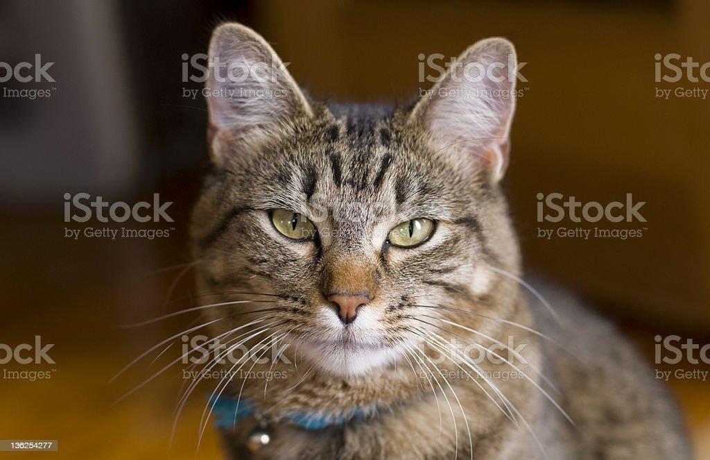 Katze Kopf/Brust Porträt – Foto