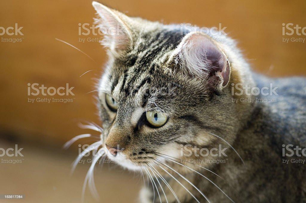 Katze Kopf, Brust, seitliche Ansicht – Foto