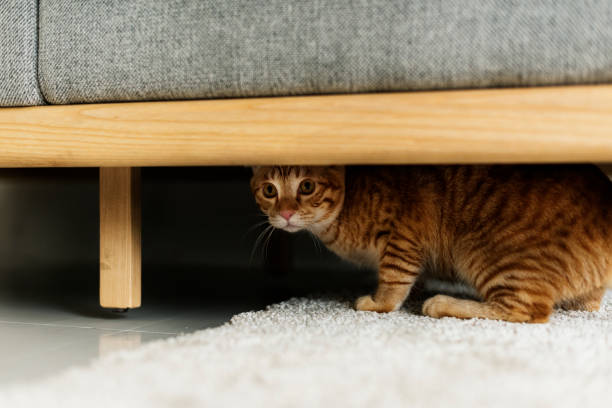 A cat hiding under a couch stock photo