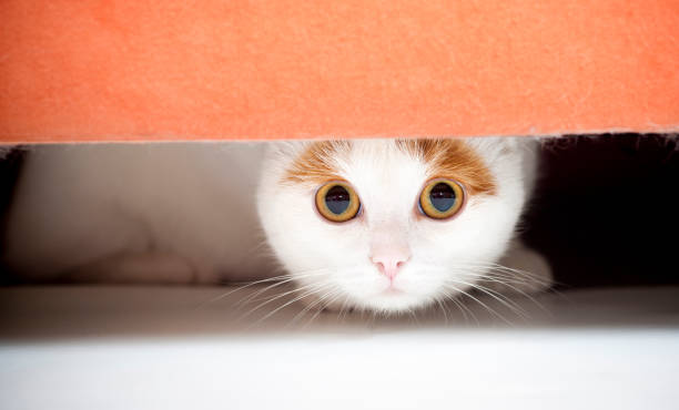 Cat hiding under sofa Cat is afraid and sitting under the furniture.See more of my cats: scared cat stock pictures, royalty-free photos & images