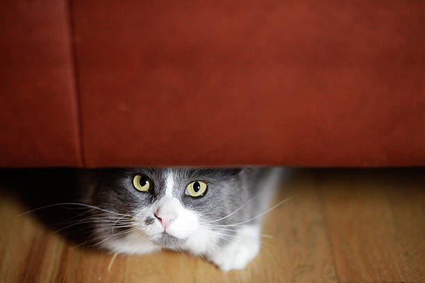 Cat hiding under the couch picture id469903548?b=1&k=6&m=469903548&s=612x612&w=0&h=  khmnw5ca80tg4zzguhkjxh0tp5mxs7zqe8c8kf7ac=