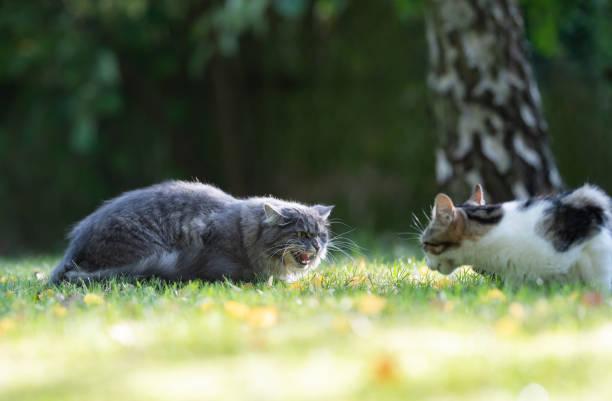 Cat hissing picture id1181374986?b=1&k=6&m=1181374986&s=612x612&w=0&h=2xnlzwic8s ntvfwt7ftz5kukmenq51kncrqzlawkzg=