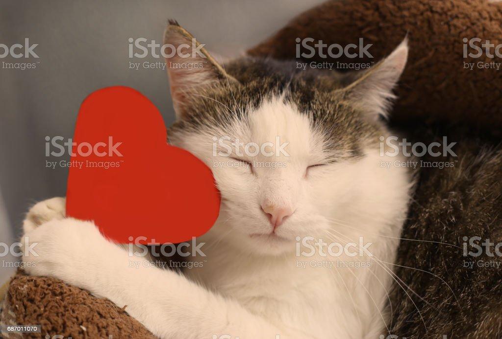 Katze halten Sie Papier rotes Herz mit textfreiraum Nahaufnahme portrait Lizenzfreies stock-foto