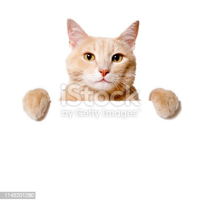 Funny Cat peeking out of a blank sign, isolated on white. You can add extra white space with your message to the bottom.