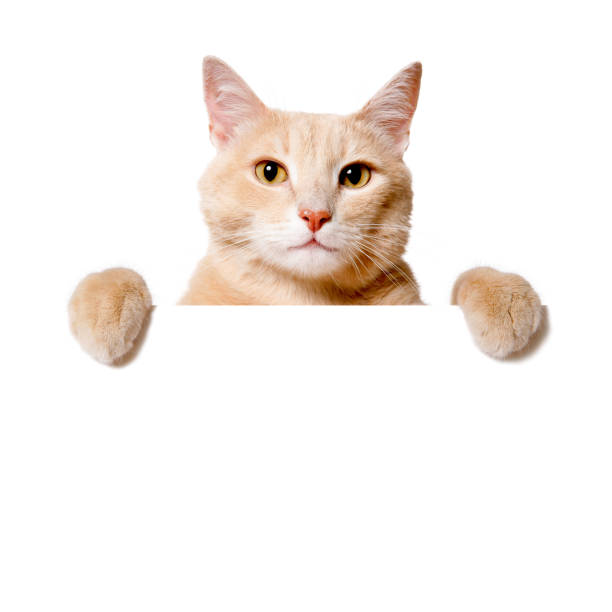 Cat holding a blank sign isolated on white picture id1145201280?b=1&k=6&m=1145201280&s=612x612&w=0&h=oywg l78fd3py7yryjyhbf6jobnobucllz1v 9i4srs=