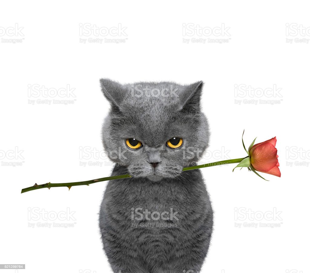 cat holding a rose in its mouth stock photo
