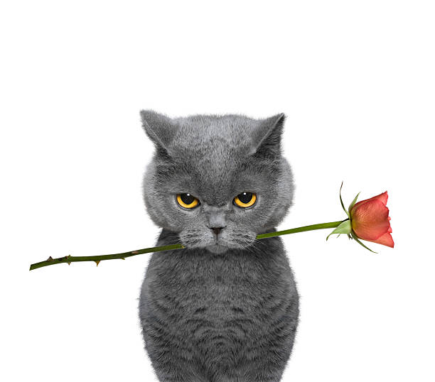 cat holding a rose in its mouth cat holding a rose in its mouth -- isolated on white background kitten cute valentines day domestic cat stock pictures, royalty-free photos & images