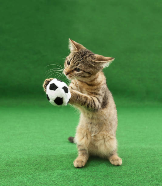 Cat holding soccer ball between paws picture id986871480?b=1&k=6&m=986871480&s=612x612&w=0&h=o15gpbzs9jiry7mnnbh01gj7qlycgp yjusicx4gam0=