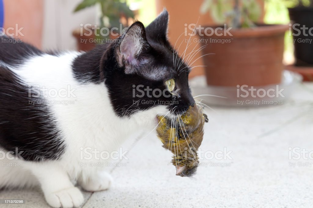 cat hunter royalty-free stock photo