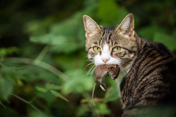 katt jägare med en fångad mus i munnen - rovdjur bildbanksfoton och bilder