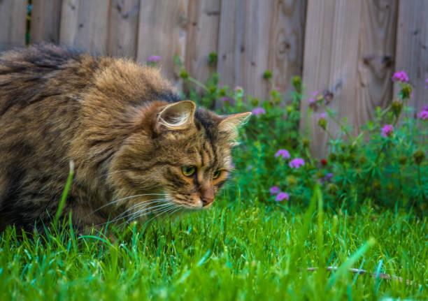Cat hunting picture id833716074?b=1&k=6&m=833716074&s=612x612&w=0&h=ptbqvlhv68dhxivtgmgodwfcgxo9dqtol xufvnauj4=