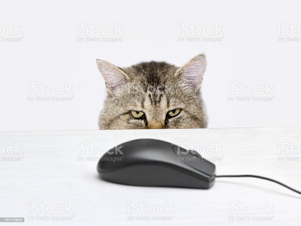 Cat hunts a computer mouse stock photo