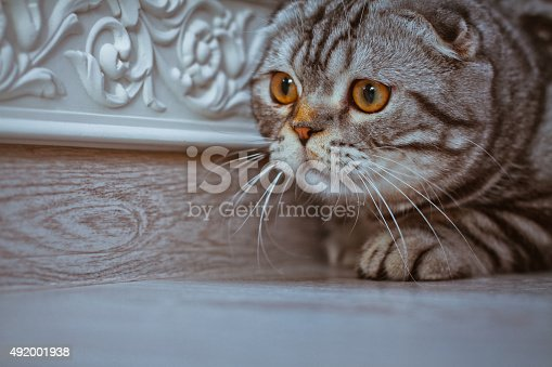 626958754 istock photo Cat hunts, plays. Scottish Fold closer look 492001938