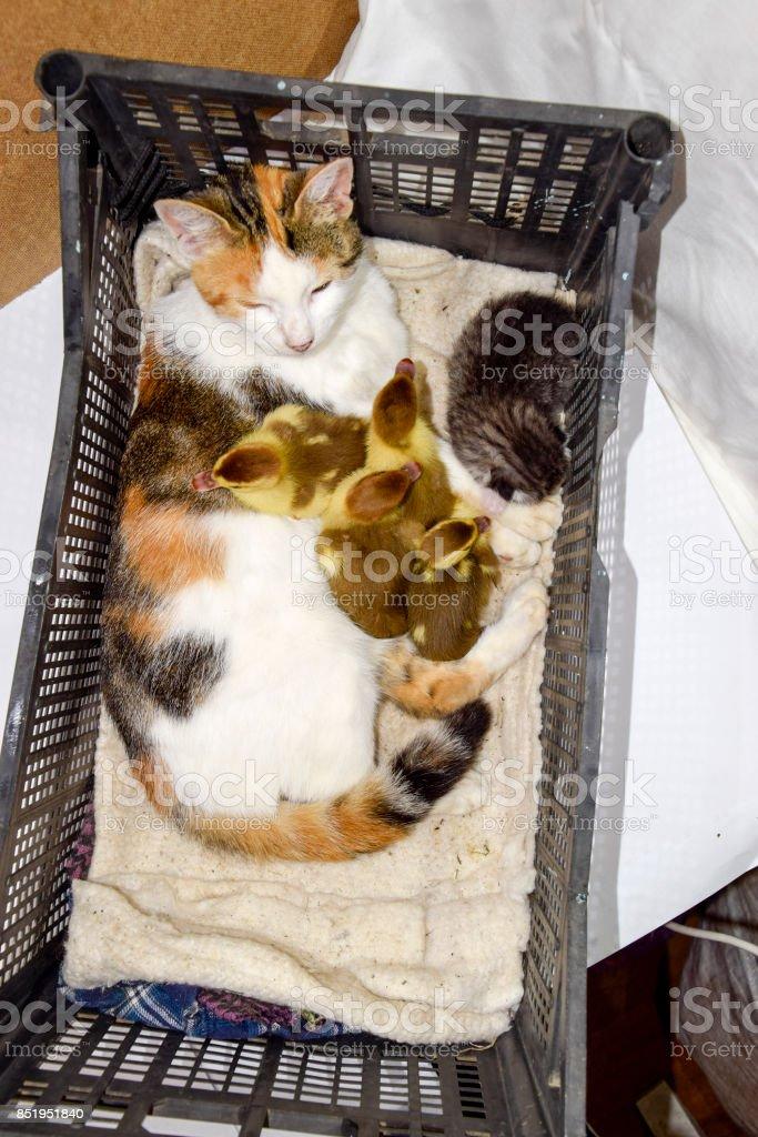 Katze in einem Korb mit Kätzchen und empfangen Moschus Ente Entenküken. Katze Pflegemutter für die Entenküken - Lizenzfrei Adoption Stock-Foto