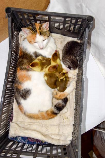katze in einem korb mit kätzchen und empfangen moschus ente entenküken. katze pflegemutter für die entenküken - cut wrong hair stock-fotos und bilder