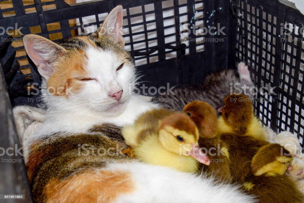 Katze in einem Korb mit Kätzchen und empfangen Moschus Ente Entenküken. Katze Pflegemutter für die Entenküken - Lizenzfrei Arbeiten Stock-Foto