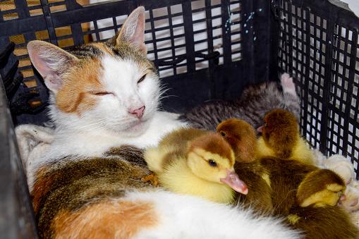Katze In Einem Korb Mit Kätzchen Und Empfangen Moschus Ente Entenküken Katze Pflegemutter Für Die Entenküken Stockfoto und mehr Bilder von Arbeiten