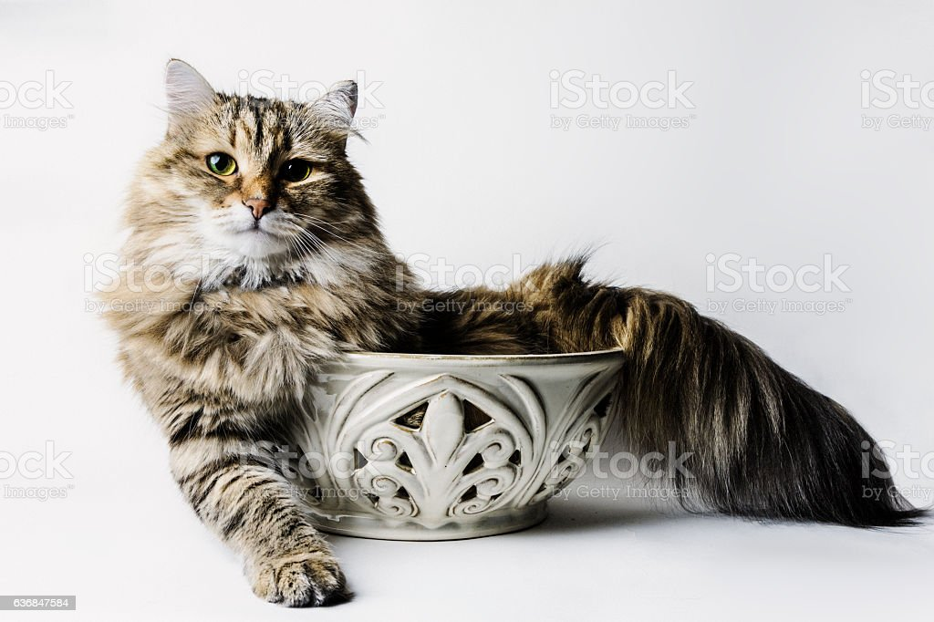 cat in a bowl stock photo