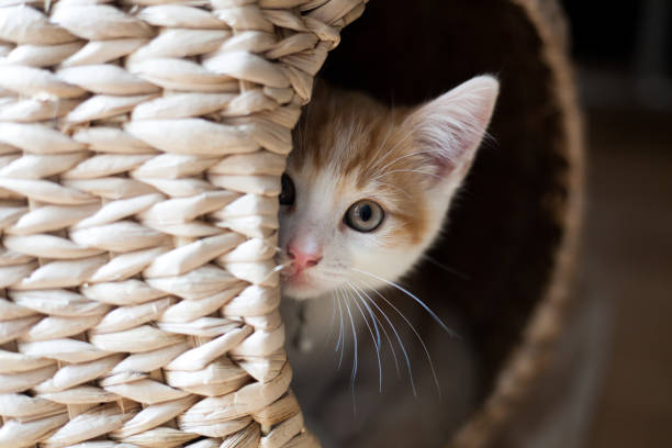 Cat in a Pod cute ginger kitten peeking out of a wicker pod hide and seek stock pictures, royalty-free photos & images