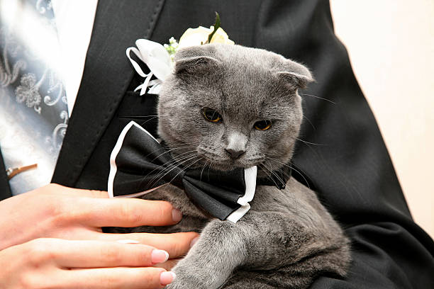 Royalty free cat wedding pictures images and stock photos istock cat in a wedding dress in the hands stock photo junglespirit Images